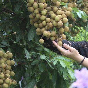 Các loại Trái Cây ngâm rượu phổ biến